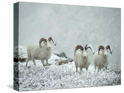 Three Dalls Sheep Look up from a Snowy Ledge-Michael S^ Quinton-Stretched Canvas Print