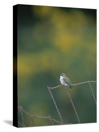A Young Ruby-Throated Hummingbird on a Rusty Fence-Taylor S^ Kennedy-Stretched Canvas Print