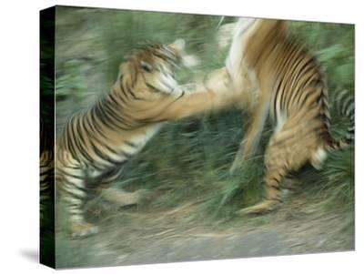 Two Fighting Sumatran Tigers in Blurred Motion-Jason Edwards-Stretched Canvas Print