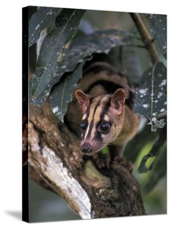 Banded Palm Civet, Malaysia-Gavriel Jecan-Stretched Canvas Print