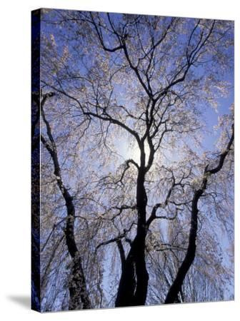 Backlit Tree and Blossoms in Spring, Lexington, Kentucky, USA-Adam Jones-Stretched Canvas Print