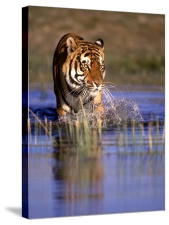 Captive Bengal Tiger, India-Stuart Westmorland-Stretched Canvas Print