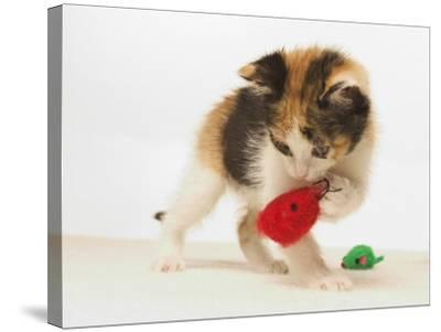 Multicolored Kitten Playing with Toy-Steve Starr-Stretched Canvas Print