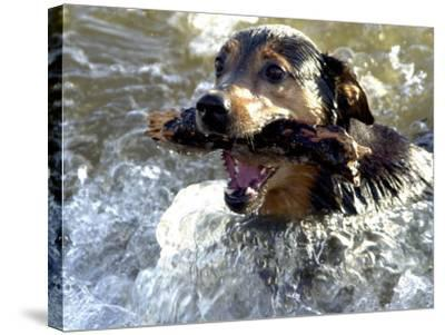 Summer a Labrador Retriever-Rottweiler Crossbreed Swims--Stretched Canvas Print