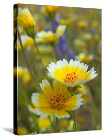 Tiddy Tips and Lupine, Shell Creek, California, USA-Terry Eggers-Stretched Canvas Print