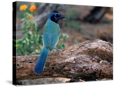 Green Jay, Texas, USA-Dee Ann Pederson-Stretched Canvas Print