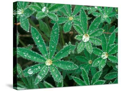 Dew Drops on Blooming Lupine, Olympic National Park, Washington, USA-Rob Tilley-Stretched Canvas Print