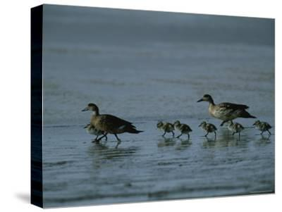 Family of Ducks on a Mud Flat on the Edge of a Saline Lake-Joel Sartore-Stretched Canvas Print
