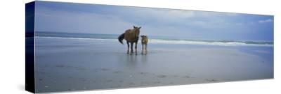 Wild Mare and Foal on the Beach North of Corolla-Stephen Alvarez-Stretched Canvas Print