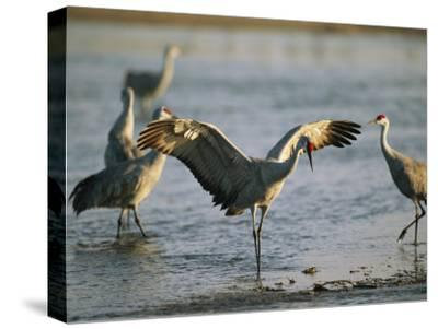 Sandhill Cranes at the Platte River Roost--Stretched Canvas Print