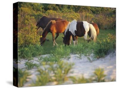 Wild Ponies Graze on Tender Grasses-Raymond Gehman-Stretched Canvas Print