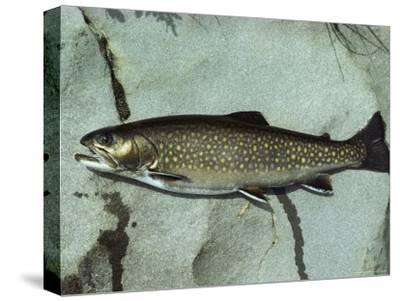 A Brook Trout, Salvelinus Frontinalis, Lying on a Flat Stone-Bill Curtsinger-Stretched Canvas Print