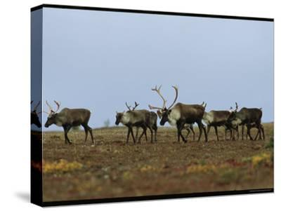 A Group of Caribou in a Tundra Landscape-Norbert Rosing-Stretched Canvas Print