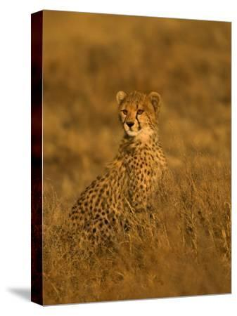 A Young Cheetah Sitting in Grass Illuminated in a Golden Light (Acinonyx Jubatus)-Roy Toft-Stretched Canvas Print