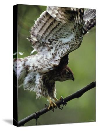 Juvenile Northern Goshawk Works Its Wings, Ready to Fly, Montana-Michael S^ Quinton-Stretched Canvas Print