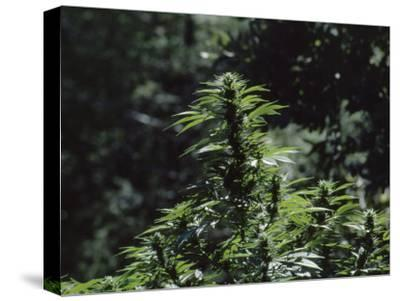 The Bud and Leaves of a Marijuana Plant, Humboldt County, California-James P^ Blair-Stretched Canvas Print
