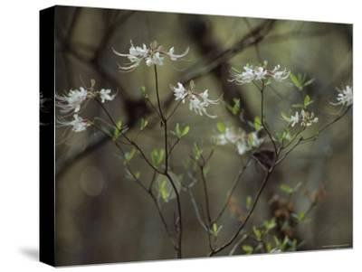 Wild Azaleas Bloom in Florida's Oseola National Forest, Florida-James P^ Blair-Stretched Canvas Print