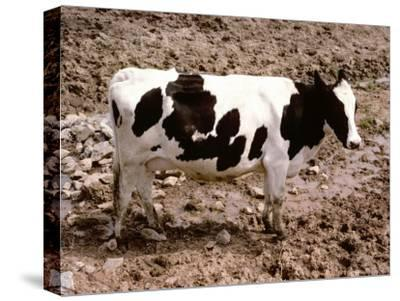 A Classic Dairy Cow in Full Profile-Stephen St^ John-Stretched Canvas Print