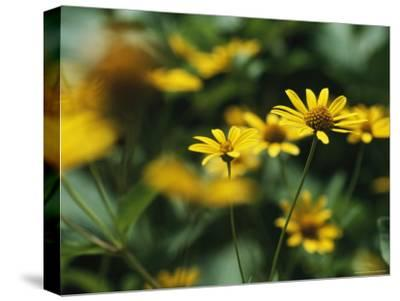 Daisies-Taylor S^ Kennedy-Stretched Canvas Print