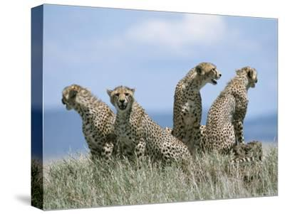 A Cheetah Family-David Pluth-Stretched Canvas Print