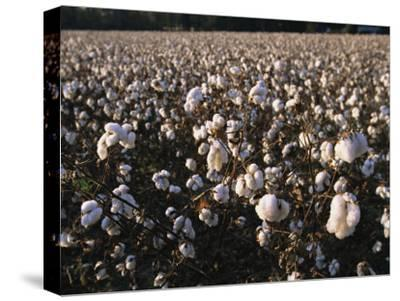 A Field of Fluffy Cotton Plants in North Carolina-Medford Taylor-Stretched Canvas Print
