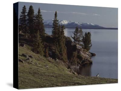 A Scenic View of Yellowstone Lake with a Canada Goose on the Shore-Tom Murphy-Stretched Canvas Print