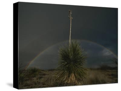A Double Rainbow Arcs over a Spanish Bayonet Yucca Plant-Annie Griffiths-Stretched Canvas Print