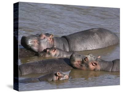 A Group of Hippos Cool off in Water-Medford Taylor-Stretched Canvas Print