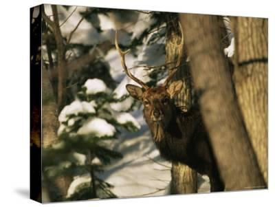A Male Sika Deer in a Snowy Forest-Tim Laman-Stretched Canvas Print
