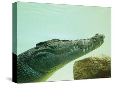 An Estuarine Saltwater Crocodile Underwater with Eyes and Jaw Shut-Jason Edwards-Stretched Canvas Print