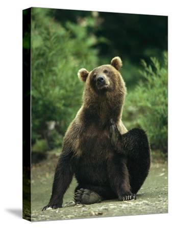 A Brown Bear Scratching an Itch-Klaus Nigge-Stretched Canvas Print