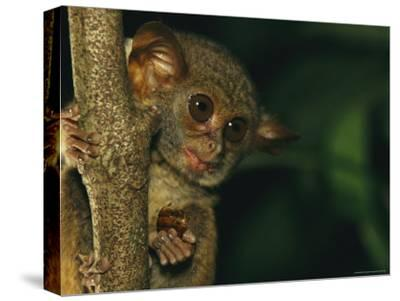 A Tarsier Eating an Insect in a Tree-Tim Laman-Stretched Canvas Print