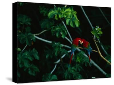 A Mated Pair of Red-And-Green Macaws Exhibit Bonding Behavior-Joel Sartore-Stretched Canvas Print