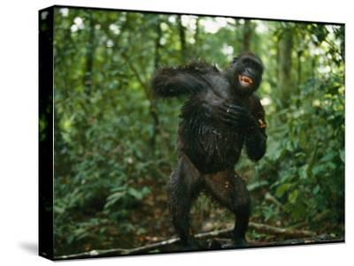 A Gorilla Beats its Chest to Achieve Recognition Within its Group--Stretched Canvas Print