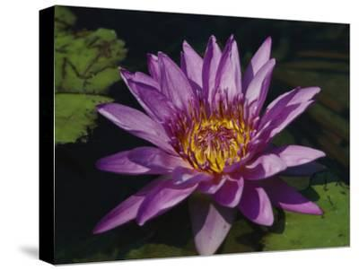 Fragrant Water Lily Flower--Stretched Canvas Print