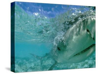 A Tiger Shark Hunting for an Albatross Fledgling to Eat-Bill Curtsinger-Stretched Canvas Print