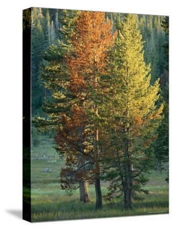 Trees Bearing the Colors of Fall-Raymond Gehman-Stretched Canvas Print