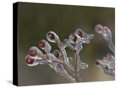 Close View of Frozen Red Berries on the Tips of a Branch-George F^ Mobley-Stretched Canvas Print