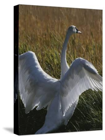 A Trumpeter Swan Stretches His Wings Amid a Field of Tall Grasses-Michael Melford-Stretched Canvas Print