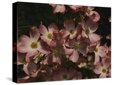 A Cascade of Pink Dogwood Blossoms in Early Spring-Stephen St^ John-Stretched Canvas Print