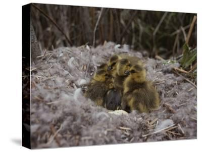 Close View of Canada Goslings Huddled in Their Nest--Stretched Canvas Print