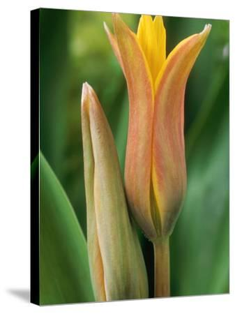 Tulipa Ferganica-Chris Burrows-Stretched Canvas Print