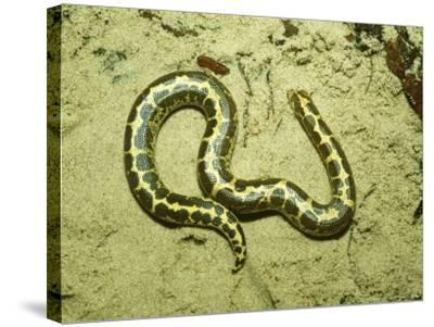 Kenyan Sand Boa, East Africa-Andrew Bee-Stretched Canvas Print