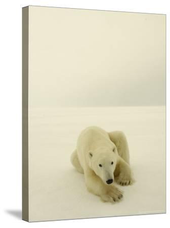 Polar Bear, a Male Wandering at Cape Churchill on the Shores of Hudson Bay, Near Churchill, Canada-Daniel J. Cox-Stretched Canvas Print