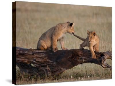 African Lion, Cubs Playing on Log, Kenya, Africa-Daniel J. Cox-Stretched Canvas Print