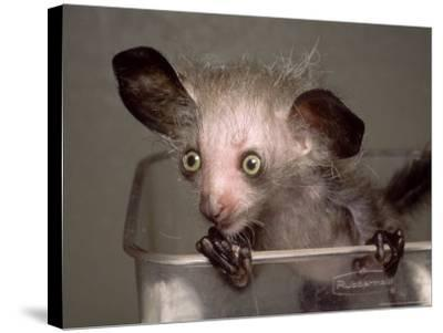 Hand-Reared Aye-Aye in Container Looking Around, Duke University Primate Center-David Haring-Stretched Canvas Print