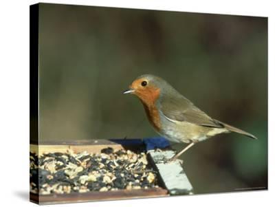 Robin, Feeding on Table, UK-Mark Hamblin-Stretched Canvas Print