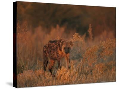 Spotted Hyena, Adult in Dawn Light, Southern Africa-Mark Hamblin-Stretched Canvas Print