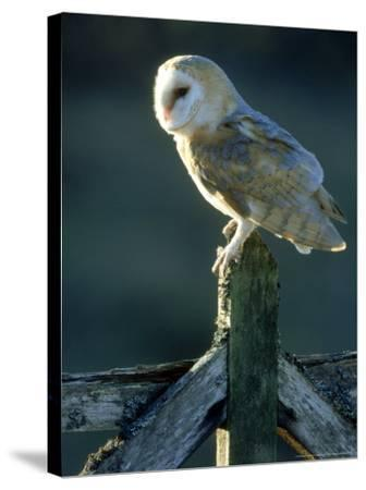 Barn Owl-Mark Hamblin-Stretched Canvas Print