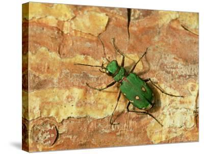 Green Tiger Beetle, Adult on Pine Bark, Scotland-Mark Hamblin-Stretched Canvas Print